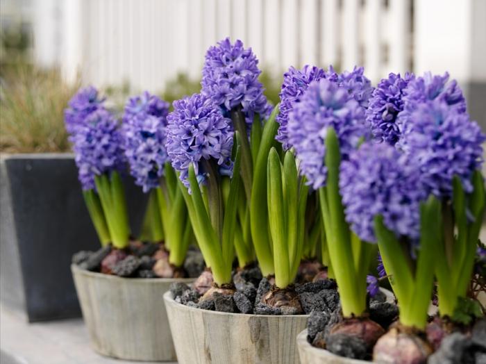Hyazinten in Blumentöpfen, lilafarbene Blüten, Frühlingsstimmung nach Hause holen
