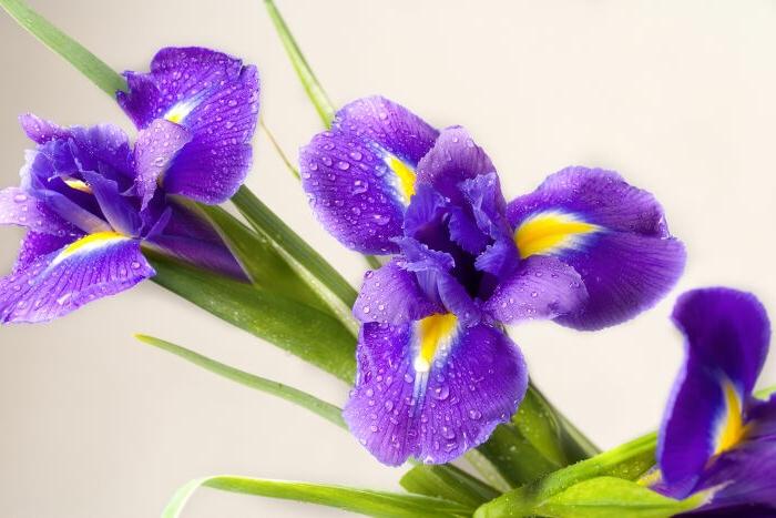 Iris, Blumenarten von A bis Z, lila-gelbe Blüten, Hintergrundbilder für Blumenliebhaber