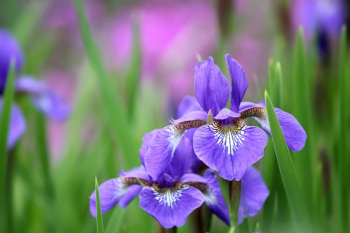 Bilder und Informationen zum Thema Blumenarten, Iris, lilafarbene Blüte, Natur genießen