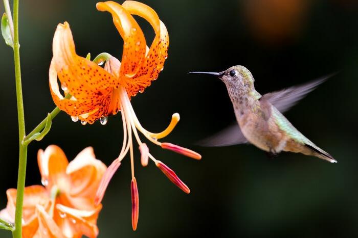 Iris und Kolibri, fantastische Hintergrundbilder lassen Sie die Natur spüren, orange Blüten