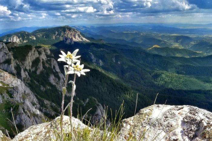prachtvolles Landschaftsbild, Edelweiß, das Gebirge im Hintergrund, zahlrecihe Hintergrundbilder für Blumenliebhaber