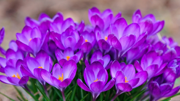 lila Krokusse, Hintergrundbilder für Frühlingsstimmung, Teppich aus Krokussen, schöne Frühlingsboten