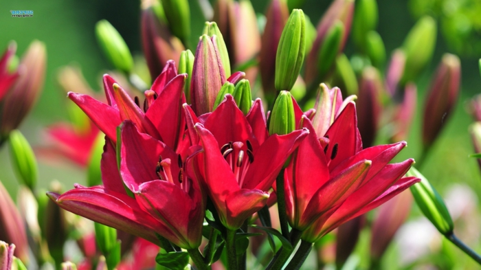 Blumenarten von A bis Z, Lilium, rote Blüten, eine der schönsten Sommerblumen, schöne Hintergrundbilder