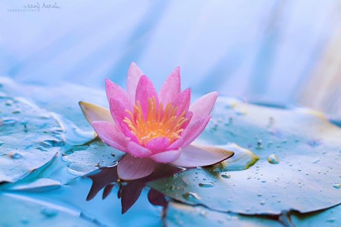 zahlreiche Blumenarten, Lotus, zarte, rosafarbene Blüte, Hintergrundbilder mit Blumen