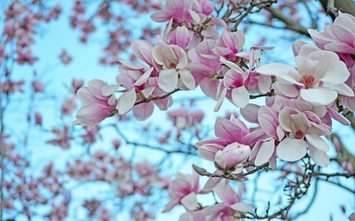 Magnolia, rosa-weiße Blüten, Blumenarten von A bis Z, prachtvolle Blütenzweige