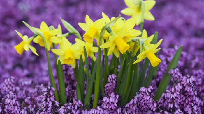prachtvolle Frühlingsboten, gelbe Narzissen, Farbenkontrast- lila und gelb, Bilder und Informationen zum Thema Blumenarten