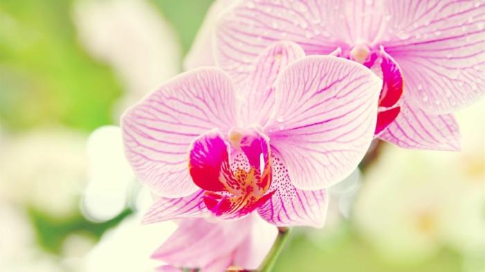 Orchidee, zarte, rosafarbene Blüte, Hintergrundbilder für Blumenliebhaber, die Blumenwelt genießen