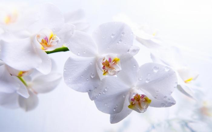 weiße Orchidee, weißer Hintergrund, zarte Blüten, die Blumenwelt genießen, Schönheiten für jede Jahreszeit