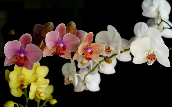 Orchideen in verschiedenen Nuancen- weiß, rosa, gelb, das perfekte Geschenk für die liebe Frau