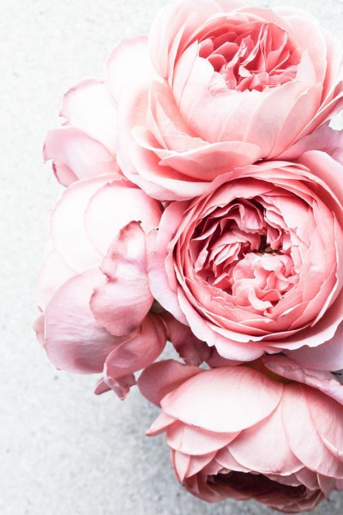 rosafarbene Pfingstrosen, Hintergrundbilder für Blumenliebhaber, die Blumenwelt kennenlernen