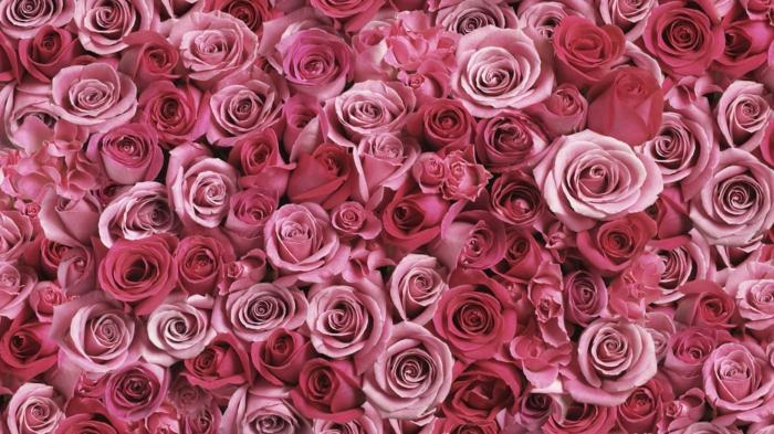 Rose- die Königin unter Blumen, wunderschöne Hintergrundbilder mit Blumen, die prachtvolle Blumenwelt