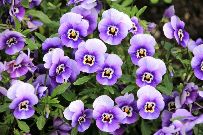 lilafarbene Veilchen, Balkonpflanzen, zahlreiche Blumenarten mit Bildern und Beschreibung