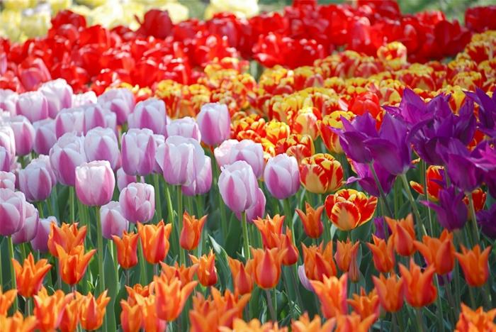 Tulpenfelder in Holland, Tulpen in verschiedenen Nuancen, Rot, Lila, Rosa, Gelb, prachtvolle Landschaftsbilder