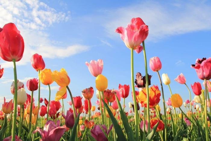 Tulpenfelder in Holland, zahlreiche, bunte Tulpen, die Natur spüren und genießen, prachtvolle Landschaftsbilder