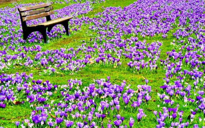 Teppich aus Krokussen, Holzbank, schönes Landschaftsbild, lila Märchen