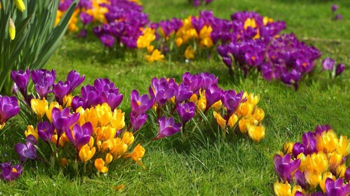 lilafarbene und gelbe Krokusse, eine der schönsten Frühlingsblumen, Frühlingsstimmung