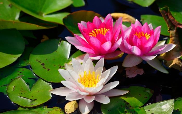 Wasserlilien, Blumenarten von A bis Z, weiße und rosafarbene Blüten, prachtvolle Bilder