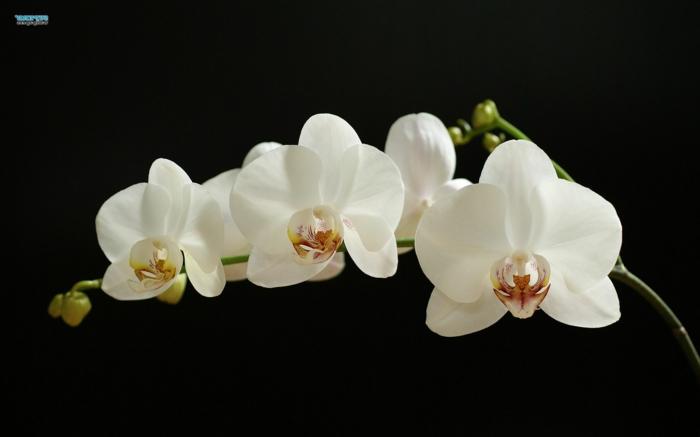 weiße Orchidee, schwarzer Hintergrund, zarte Blüten, die Blumenwelt kennenlernen