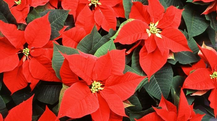 Weihnachtsstern, rote Blüten, schönes Geschenk zum Wihnachten, Blumen im Winter genießen