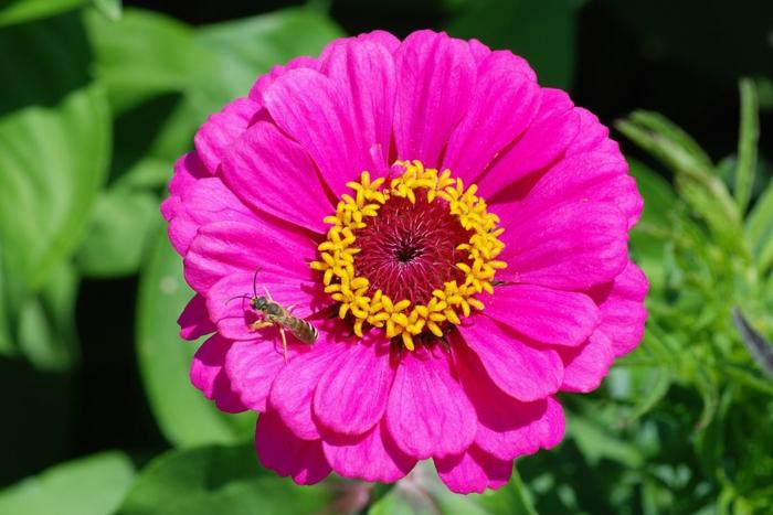 Zinnie, Blumenliste von A bis Z, violette Blüte, die Blumenwelt kennenlernen, vielfältige Blumenarten