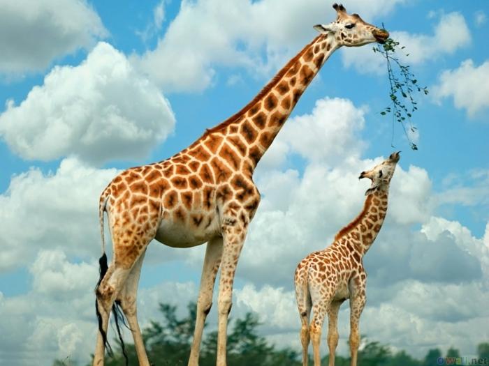 süße Tierbabys und ihre Eltern, Giraffen- Mama und Kind, Mutterliebe im Tierreich, fantastische Bilder