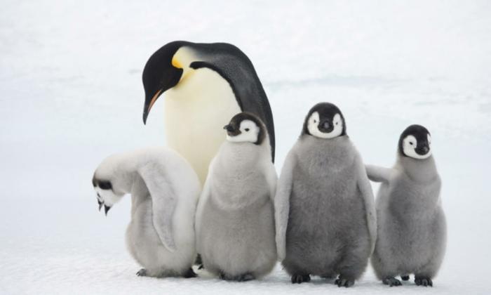 süße Pinguine- Mutter mit ihren Kindern, fantastische Bilder von niedlichen Tieren, Mutterliebe