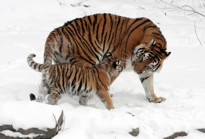 süßes Tierbaby und seine Mutter, Mutterliebe im Tierreich, Tigerbaby und Mama