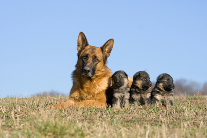 Deutscher Schäferhund, Mama und ihre drei Babys, niedliche Tierbabys mit ihren Eltern