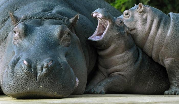 Flusspferden- Mutter und zwei Babys, tolle Tierbilder, Tierbabys mit ihren Eltern, Elternliebe im Tierreich