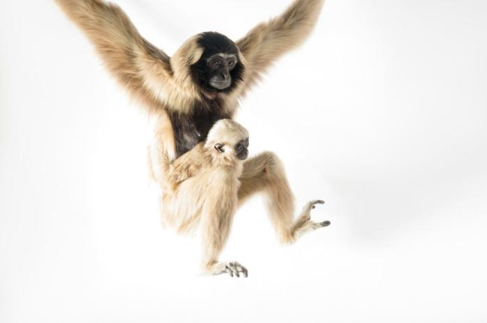 süße Gibbons- Mutter und Baby, niedliche Tierbabys mit ihren Eltern- fantastische Bilder