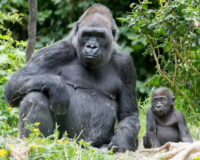 Gorillas- Mutter und Baby, süßes Tierbaby, Elternliebe im Tierreich, schöne Tierbilder