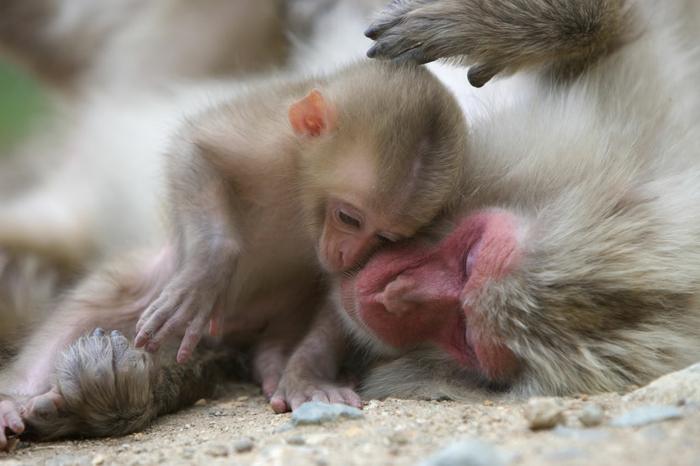 Japanmakak, Mutter und Baby, süße Affen, Elternliebe im Tierreich, fantastische Bilder