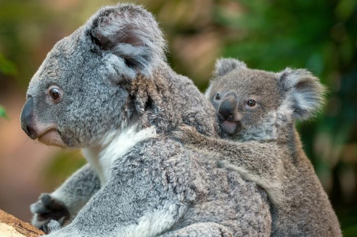 süße Koalas- Mutter und Baby, niedliche Tierbabys mit ihren Eltern, Elternliebe im Tierreich