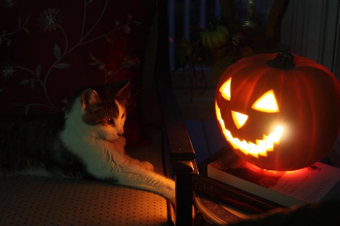 eine Katze betrachtet den gruseligen Kürbis - Halloween Bilder