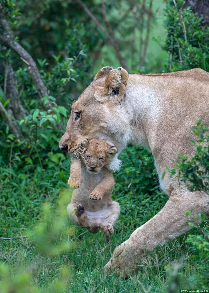 Löwin mit ihrer Baby, Bilder von niedlichen Tierbabys und ihren Eltern, Elternliebe im Tierreich