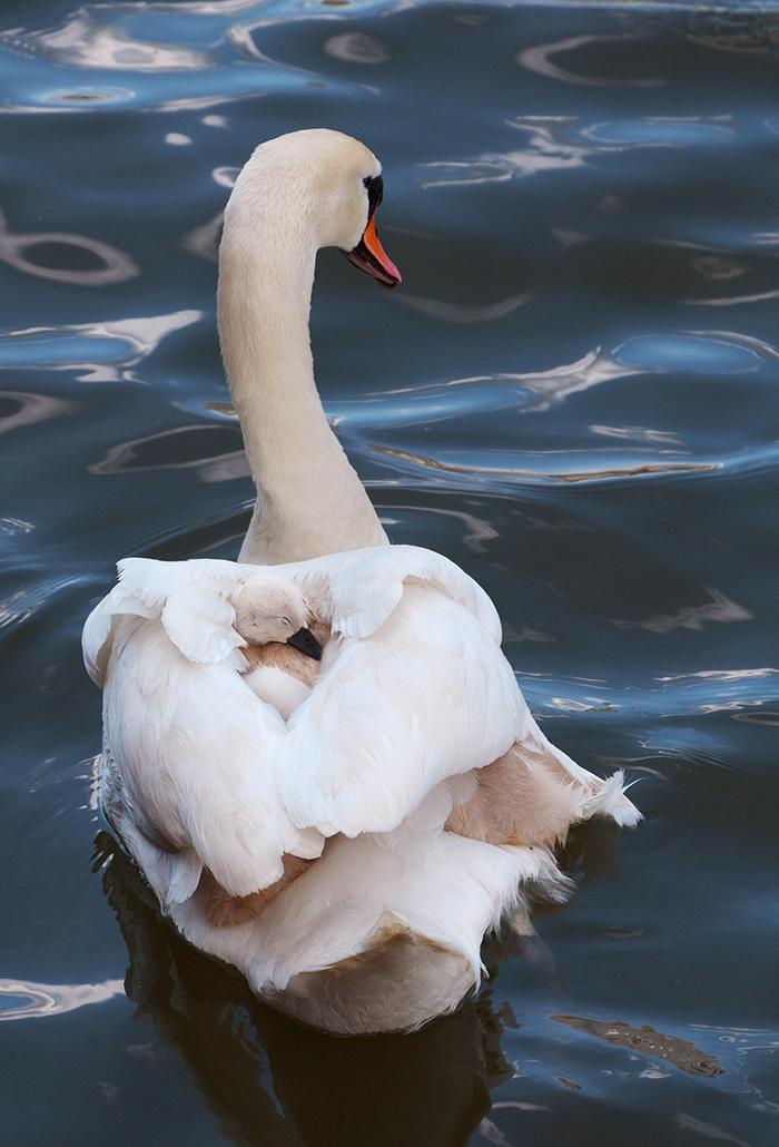 wunderschöne Schwäne- Mutter und Baby, den Tierreich näher kennenlernen, Mutterliebe