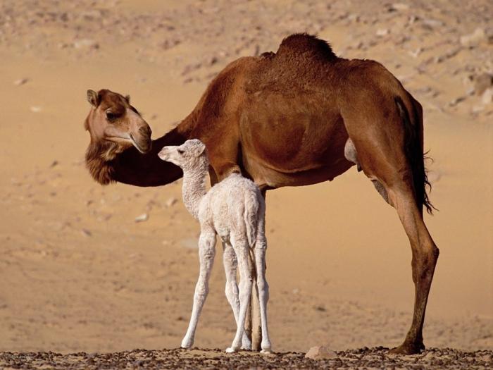 Kamele- Mutter und Baby, süße Tierbabys mit ihren Eltern, niedliche Bilder, Tierwelt näher kennenlernen