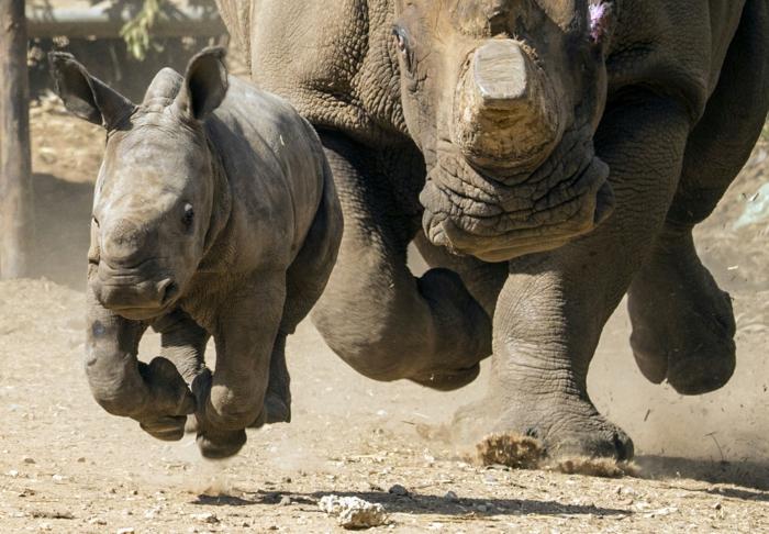 Nashörner- Mutter und Kind zusammen, den Tierreich näher kennenlernen, schöne Bilder