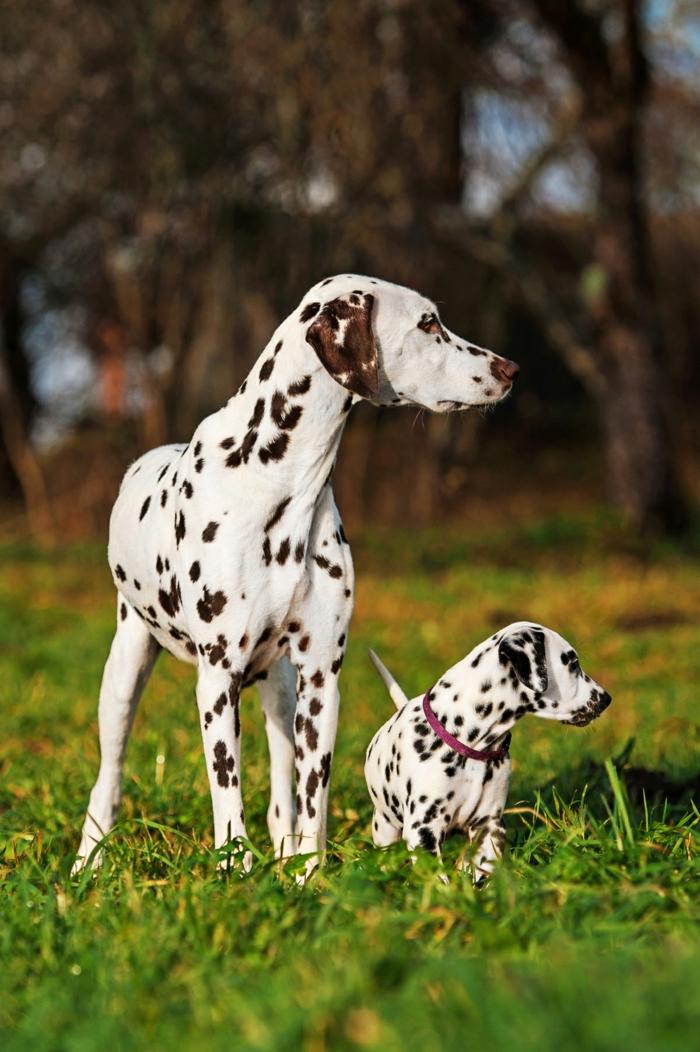 süße Dalmatiner- Mutter und Baby, die niedlichsten Tierbabys der Welt- zahlreiche Foros