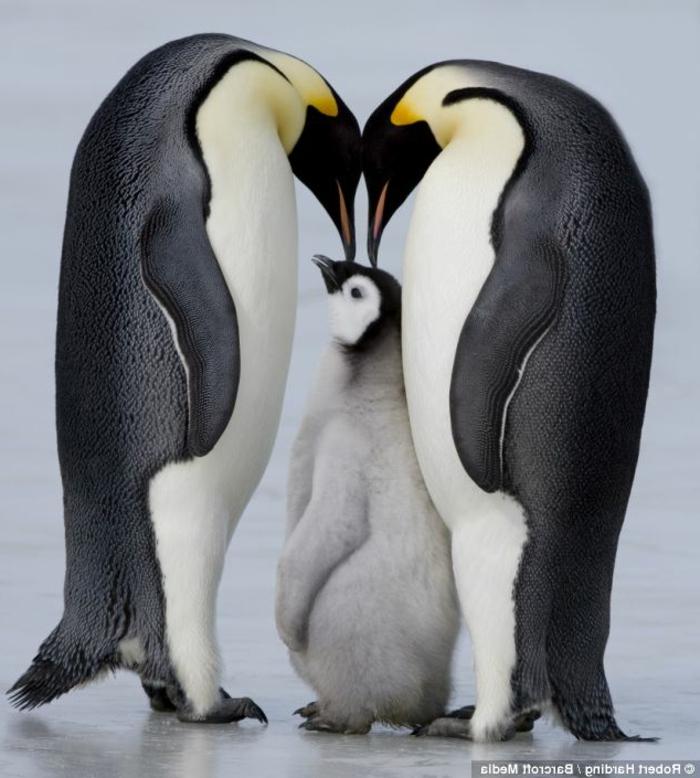 süße Familie Pinguine, Eltern mit ihrem Baby, Bilder von niedlichen Tierbabys und ihren Eltern
