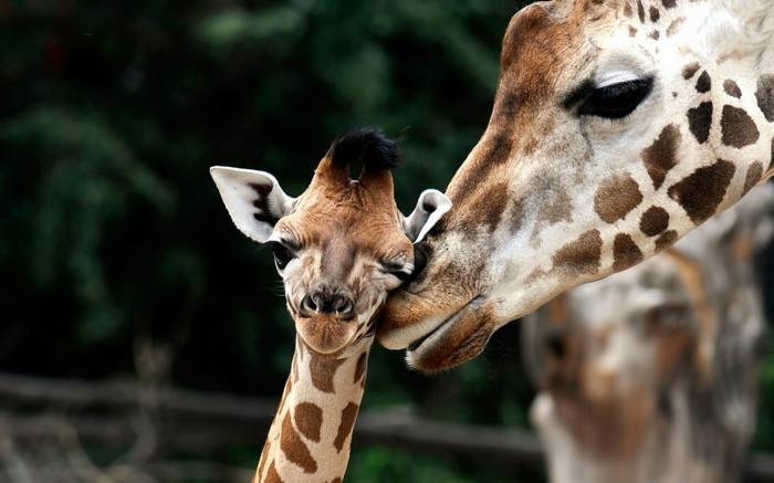süße Giraffen- Baby und Mutter, den Tierreich näher kennenlernen, zahlreiche Bilder von niedlichen Tierbabys