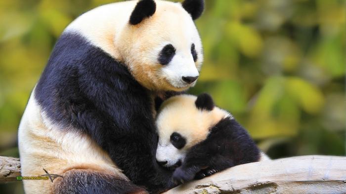 süße Pandas- Mama und Baby, niedliche Tierbabys mit ihren Eltern, Bilder und Informationen