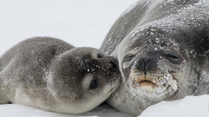 süße Robben- Mutter und Baby, das Baby küsst seine Mutter, Liebe im Tierreich