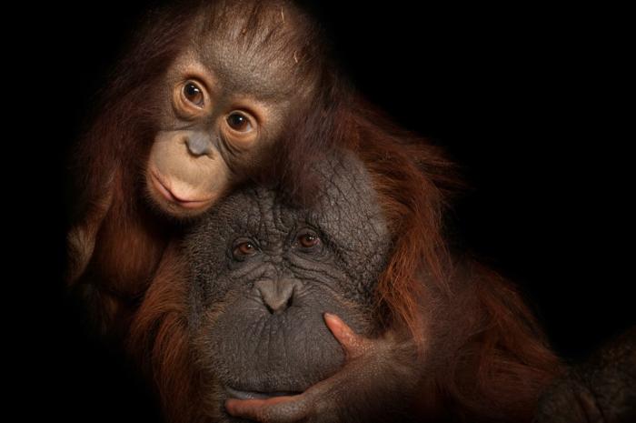 zwei niedliche Orang-Utans, Mutter und Baby, süße Bilder von Tierbabys und ihren Eltern