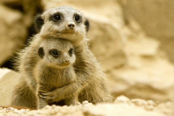 Mutter und Baby Erdmännchen kuscheln sich, Liebe im Tierreich, fantastische Bilder von niedlichen Tieren