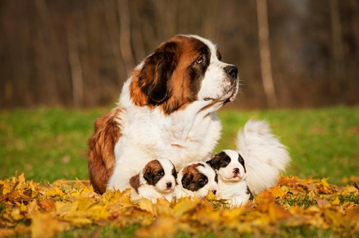 Bernhardiner, drei süße Hundebabys mit ihrer Mutter, gelbe Herbstblätter, schöne Bilder von Tieren