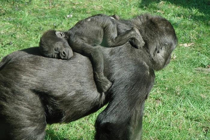 Baby Gorilla schläft auf seiner Mutter, Bilder von Tierbabys und Eltern, interessante Fakten