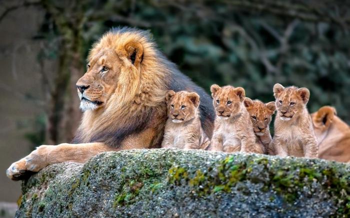 Löwin mit vier Babys, den Tierreich näher kennenlernen, zahlreiche Bilder und interessante Fakten