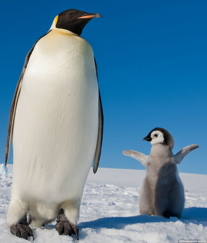 Mutter und Baby Pinguine, die süßesten Tierbabys der Welt mit ihren Eltern, Mutterliebe im Tierreich