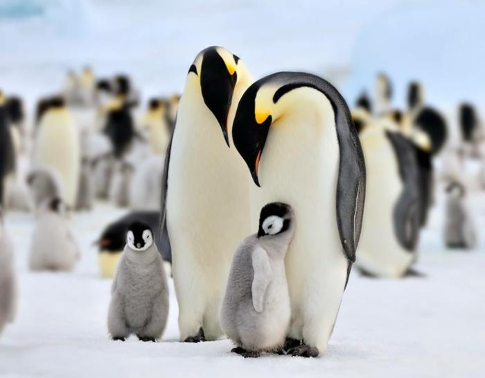 süße Baby Pinguine und ihre Eltern, wunderschöne Familie, in die Tierwelt eintauchen- Bilder und Fakten